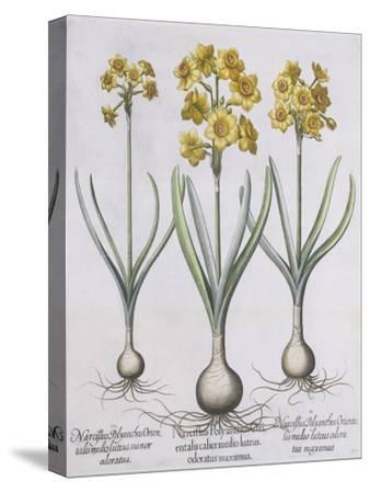 Narcissis Polyanthus-Basilius Besler-Stretched Canvas Print