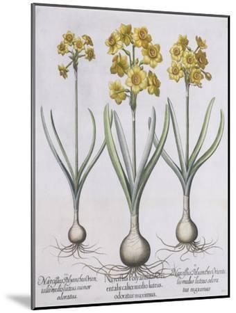 Narcissis Polyanthus-Basilius Besler-Mounted Giclee Print