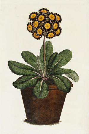 A Pot of Auricula French Print--Stretched Canvas Print
