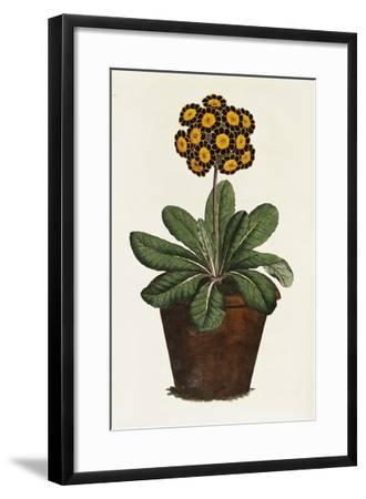 A Pot of Auricula French Print--Framed Giclee Print