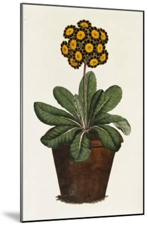 A Pot of Auricula French Print--Mounted Giclee Print