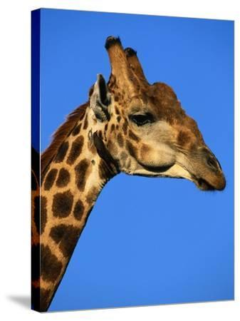 Red-Billed Oxpecker on Giraffe's Head--Stretched Canvas Print
