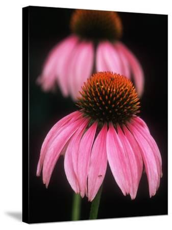 Echinacea Plant--Stretched Canvas Print