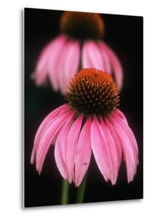 Echinacea Plant--Metal Print