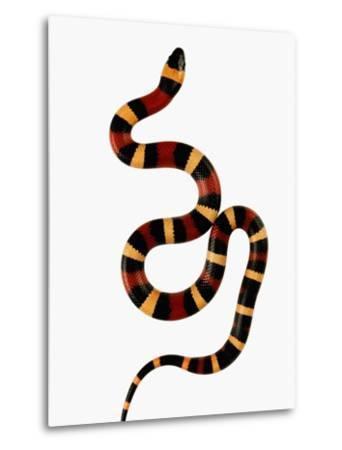 Pueblan Milk Snake-Martin Harvey-Metal Print