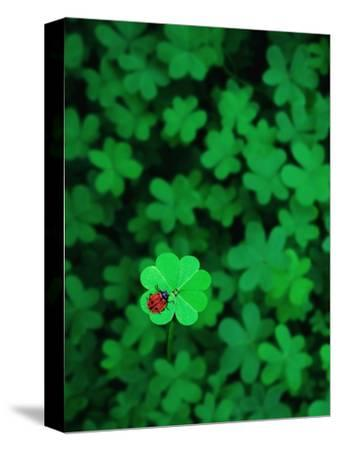 Ladybug on Four Leaf Clover-Bruce Burkhardt-Stretched Canvas Print