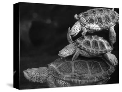 Turtles Underwater-Henry Horenstein-Stretched Canvas Print