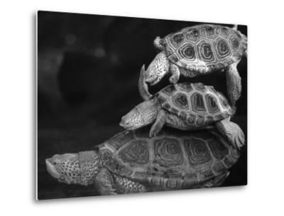 Turtles Underwater-Henry Horenstein-Metal Print