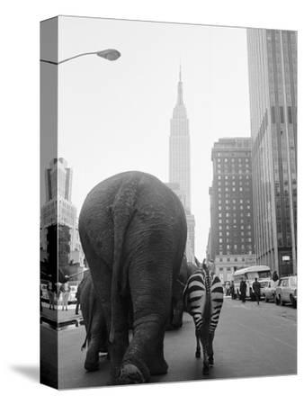Circus Animals on 33rd Street-Bettmann-Stretched Canvas Print