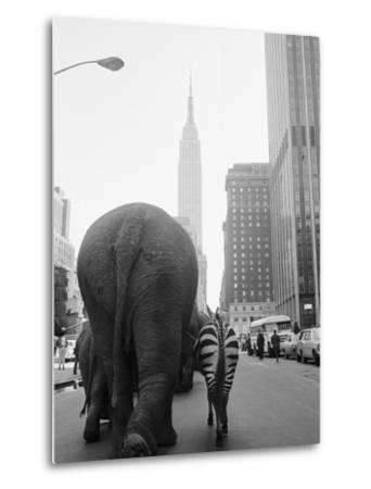 Circus Animals on 33rd Street-Bettmann-Metal Print