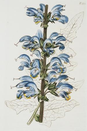 Illustration Depicting Bicolor Sage Plant-Bettmann-Stretched Canvas Print