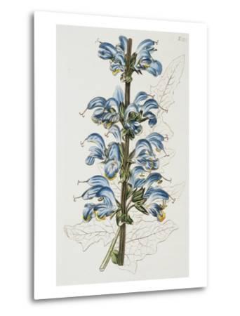 Illustration Depicting Bicolor Sage Plant-Bettmann-Metal Print