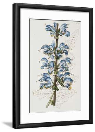 Illustration Depicting Bicolor Sage Plant-Bettmann-Framed Giclee Print