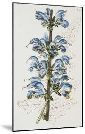 Illustration Depicting Bicolor Sage Plant-Bettmann-Mounted Giclee Print