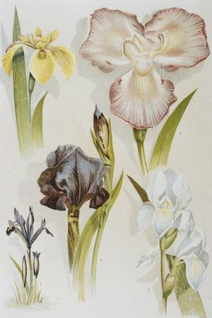 Illustration Depicting Various Types of Irises-Bettmann-Stretched Canvas Print