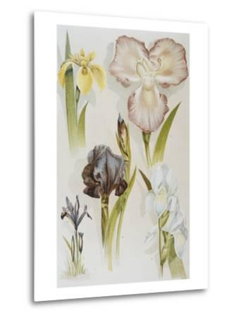 Illustration Depicting Various Types of Irises-Bettmann-Metal Print