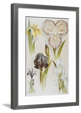 Illustration Depicting Various Types of Irises-Bettmann-Framed Giclee Print