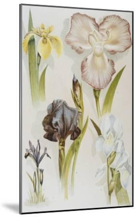 Illustration Depicting Various Types of Irises-Bettmann-Mounted Giclee Print