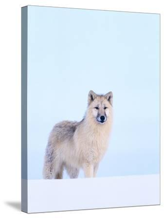Gray Wolf in Snow-Jeff Vanuga-Stretched Canvas Print