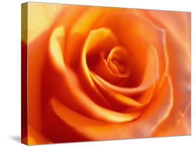 Peach Rose-David Papazian-Stretched Canvas Print