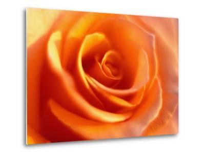 Peach Rose-David Papazian-Metal Print