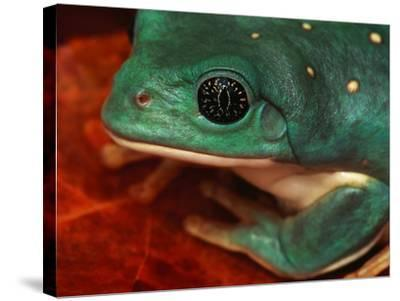 Tree Frog--Stretched Canvas Print