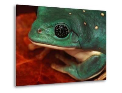 Tree Frog--Metal Print