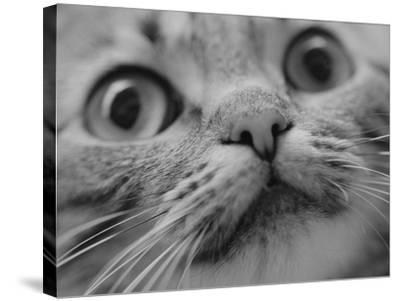 Close Up of Cat's Face-Henry Horenstein-Stretched Canvas Print