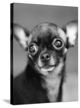 Chihuahua's Face-Henry Horenstein-Stretched Canvas Print
