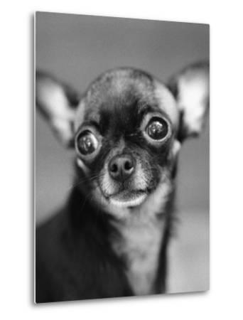 Chihuahua's Face-Henry Horenstein-Metal Print