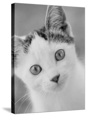 Head of Cat-Henry Horenstein-Stretched Canvas Print