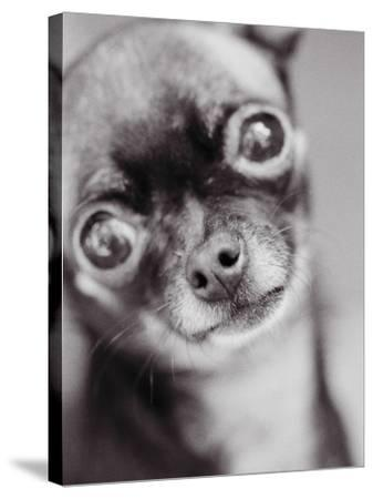 Face of a Chihuahua-Henry Horenstein-Stretched Canvas Print