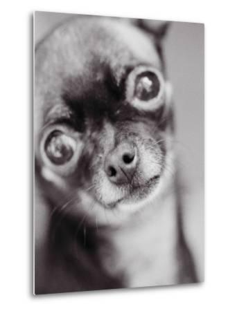 Face of a Chihuahua-Henry Horenstein-Metal Print