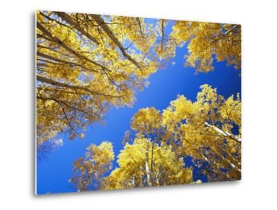 Aspen Trees Against Blue Sky-William Manning-Metal Print