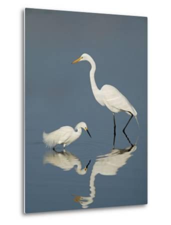 Snowy and Great Egrets-Arthur Morris-Metal Print