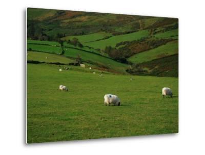 Sheep and Stone Walls in Green Pastures-Richard Cummins-Metal Print