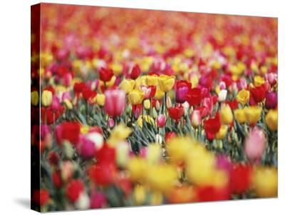 Colorful Tulips in Meadow-Craig Tuttle-Stretched Canvas Print