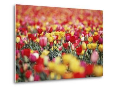 Colorful Tulips in Meadow-Craig Tuttle-Metal Print