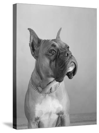 Close View of a Boxer-Bettmann-Stretched Canvas Print