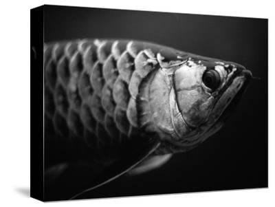Fish-Henry Horenstein-Stretched Canvas Print