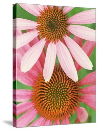 Pink Cone Flowers Close-Up-Richard Hamilton Smith-Stretched Canvas Print