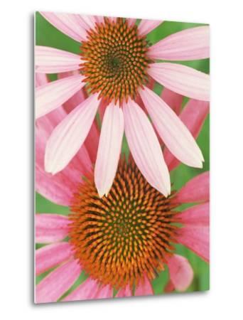Pink Cone Flowers Close-Up-Richard Hamilton Smith-Metal Print