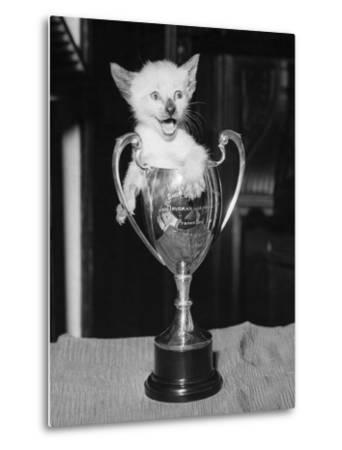 Siamese Kitten in a Trophy Cup--Metal Print