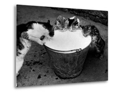 Kittens Slurping from a Pail of Milk--Metal Print