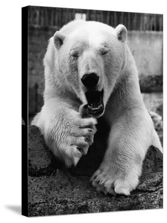 Yawning Polar Bear--Stretched Canvas Print