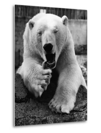 Yawning Polar Bear--Metal Print