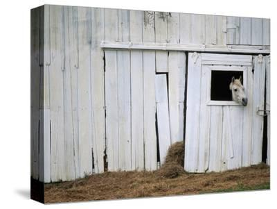 Horse Sticking Head out Barn Window-Kevin R^ Morris-Stretched Canvas Print