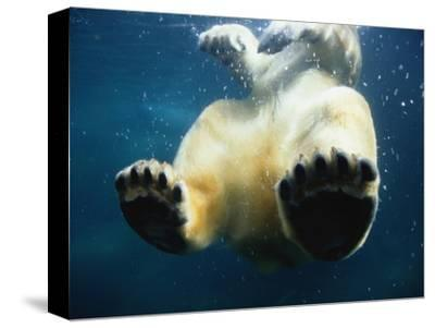 Paws of a Floating Polar Bear-Stuart Westmorland-Stretched Canvas Print