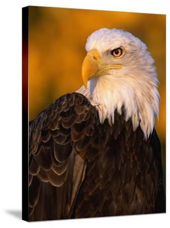 Bald Eagle-W^ Perry Conway-Stretched Canvas Print