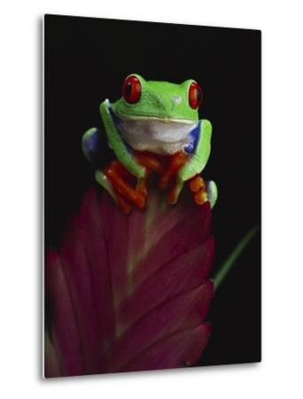 Red-Eyed Tree Frog Perched on Plant-David Northcott-Metal Print